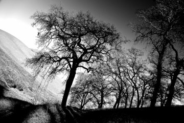Californian Oaks Diablo CHope